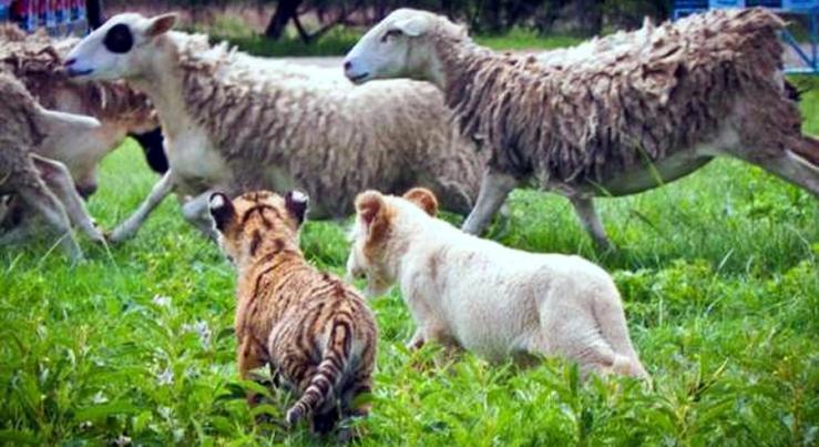 Tiger Sheep